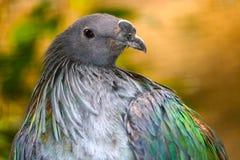 看斜向一边在金黄背景前面的一只nicobar鸽子的头和乳房 图库摄影