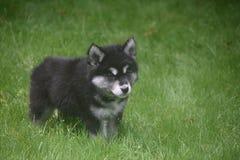 看某事在草的逗人喜爱的alusky小狗 免版税库存图片
