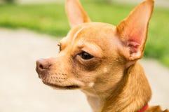 看某事的奇瓦瓦狗 免版税图库摄影