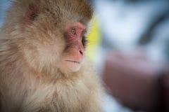 日本雪猴子 库存图片