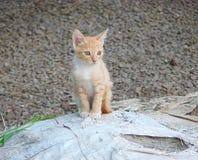 看某处与锐利和开放眼睛的一只家猫的Cub 免版税库存照片