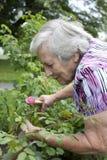 看桃红色罗斯的资深妇女在庭院里 免版税库存照片