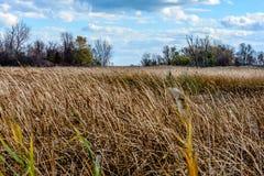 看横跨吹在风的芦苇属的领域 库存图片