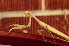 看正确您的捕食的螳螂 库存图片