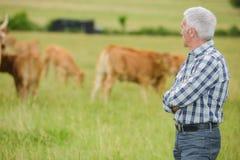 看母牛 免版税图库摄影