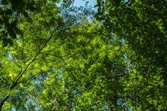 看法从下面在绿色叶子在俄罗斯的夏天森林里 免版税图库摄影