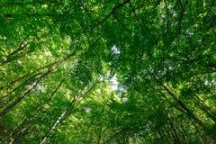 看法在春天高大的树木冠的森林与年轻绿色叶子的 免版税图库摄影