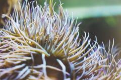看法活泼的明亮的颜色海葵属的关闭在背景蓝色海水族馆珊瑚 玻璃在背景鱼的oceanarium博物馆 库存照片