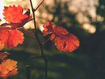 看法的Cluse在秋天颜色的carst葡萄园在日落 叶子的深红橙色阴影 库存照片