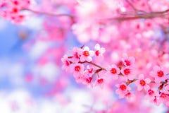 看法美丽的野生喜马拉雅樱桃 库存照片