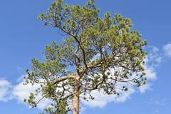 看法美丽,绿色,雪松杉木 免版税图库摄影
