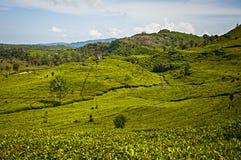 看法茶园, Sinumbra, Ciwidey,万隆,西爪哇省 库存图片