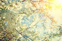 看法通过樱桃树instagram窗框的开花的老太婆 库存图片