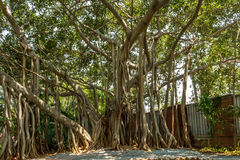 看法非常老榕树在一个绿色庭院里,金奈,印度, 2017年4月01日 免版税库存图片