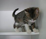 看灰色和白色平纹的小猫下来 库存图片