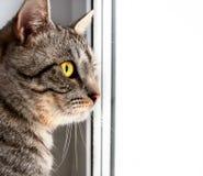 看灰色的虎斑猫坐窗口和某处 库存图片