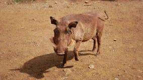 看照相机和点头的非洲warthog的特写镜头画象 股票视频