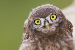 看照相机的一只幼小小猫头鹰 免版税图库摄影