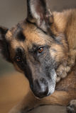 看照相机的一只德国牧羊犬的画象 免版税库存照片