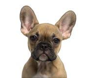 看照相机的一只法国牛头犬小狗的特写镜头 免版税库存图片