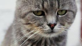 看照相机的一只美丽的严肃的纯血统猫的特写镜头画象 影视素材