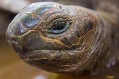 看照相机的一只逗人喜爱的乌龟 库存图片