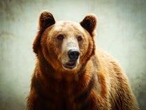 看照相机的一头棕熊的特写镜头画象 免版税库存照片