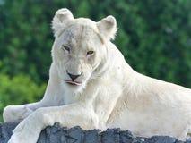 看照相机的一头白色狮子的图象 免版税库存图片