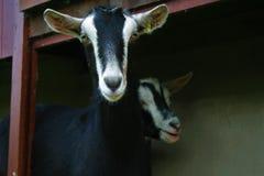 看照相机的两只农厂山羊 免版税库存照片