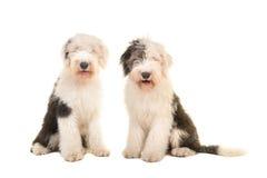 看照相机的两只坐的幼小成人英国护羊狗 免版税库存图片