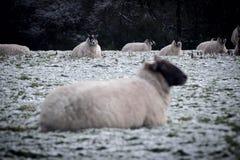看照相机的两只绵羊 免版税库存照片