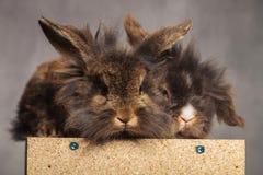 看照相机的两逗人喜爱的狮子头兔子bunnys 免版税库存照片