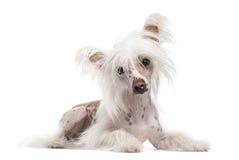 看照相机的中国有顶饰狗,隔绝在白色 免版税库存照片