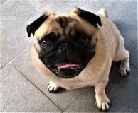 看照相机的哈巴狗 免版税库存照片