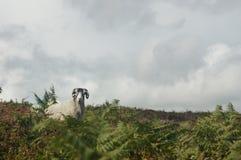 看照相机的唯一公羊 免版税库存图片