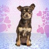 看照相机的奇瓦瓦狗,坐心脏背景 免版税图库摄影