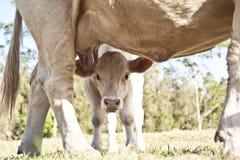 看照相机的好奇小牛 免版税库存照片