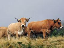 看照相机的好奇母牛 库存照片
