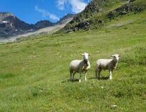 二只逗人喜爱的羊羔在夏天 免版税库存照片