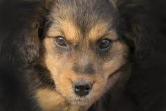 看照相机的好的黑和棕色小狗 免版税库存图片