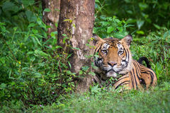 看照相机的孟加拉老虎 免版税图库摄影