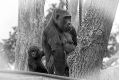 看照相机的小大猩猩,当保持被击中的` s母亲时 免版税图库摄影