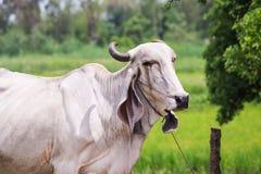 看照相机的小的母牛 免版税库存图片