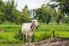 看照相机的小的母牛 免版税库存照片
