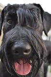 看照相机的巨型髯狗狗 免版税库存图片