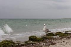 看照相机的布朗海鸥反对在海的风暴 狂放的鸟概念 在沙子海滩的海鸥在飓风天 库存照片