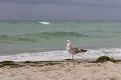 看照相机的布朗海鸥反对在海的风暴 狂放的鸟概念 在沙子海滩的海鸥在飓风天 免版税库存图片