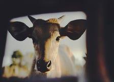 看照相机的年轻小牛画象 库存图片