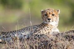 看照相机的幼小猎豹 免版税库存图片