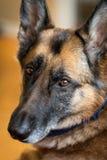 看照相机的德国牧羊犬狗 库存照片